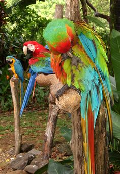 Blue & Gold Macaw, Scarlet Macaw, Catalina Macaw at Garden of Eden