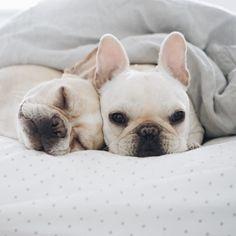 delta-breezes: Piggy & Polly, French Bulldogs
