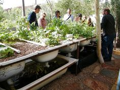 Bathtub Aquaponics in Alice Springs « Milkwood: permaculture farming and living