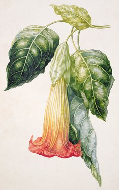 Stramonium; Trumpet Print featuring the painting Thorn Apple Flower From Ecuador Datura Rosei by Augusta Innes Withers