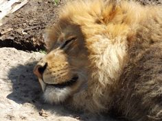 Sleeping lion at the st. Sleeping Lion, The St, Great Photos, St Louis, Animals, Animales, Animaux, Animal, Animais