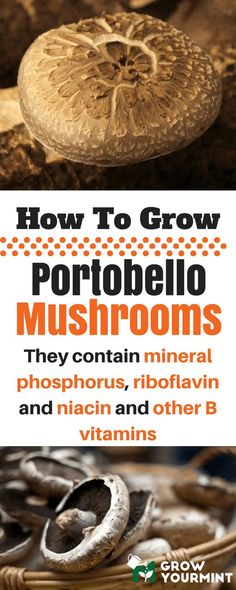 how to grow portobello mushrooms #garden#gardening#growyourmint.com