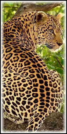JAGUAR (Panthera onca) #by José Mendes - Google+ - INACIO MESQUITA #panther wildlife wilderness leopard animal big cat nature