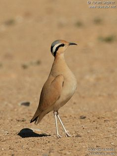 Cream-colored Courser	(Cursorius cursor)