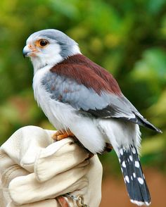 This is a African pygmy falcon (Polihierax semitorquatus). It lives in part of Africa and is the smallest raptor (aka bird of prey) on the continent. Kinds Of Birds, All Birds, Little Birds, Birds Of Prey, Love Birds, Pretty Birds, Beautiful Birds, Animals Beautiful, Cute Animals