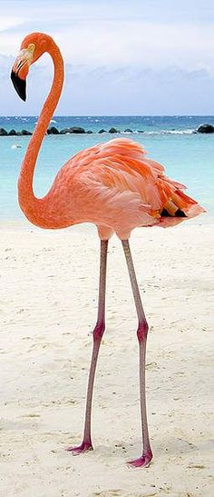 Flamingo Turks and Caicos: