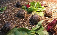 Garden /Mediterranean Tortoises-Home Bred Hermanns Hatchlings For Sale. Hatched - August Eating well -Fed on greens-very lively-lovely shells. Hermann Tortoise, Kawaii Turtle, Tortoise House, Pet Turtle, Carapace, Vertebrates, Tortoises, Large Animals, Eating Well