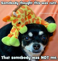 Chihuahua quote via www.Facebook.com/ChihuahuaHaHa