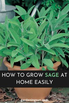 Garden sage is easy to grow—and a wonderful culinary herb that flavors meat and bean dishes.