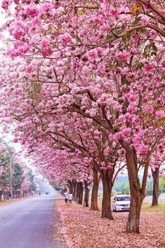 Cherry trees in full bloom, Kyoto, Japan Beautiful Landscapes, Beautiful Gardens, Beautiful Flowers, Beautiful Pictures, Spring Scenery, Baumgarten, Image Nature, Colorful Trees, Green Landscape