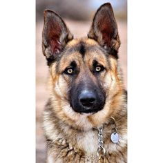 Wicked Training Your German Shepherd Dog Ideas. Mind Blowing Training Your German Shepherd Dog Ideas. Big Dogs, I Love Dogs, Cute Dogs, Dogs And Puppies, Doggies, Terrier Puppies, Bull Terriers, Corgi Puppies, Husky Puppy
