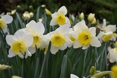 "Daffodil Ice Follies Height: 16""+ Deer Resistant: Yes Exposure: Full or Part Sun Blooms In: April"