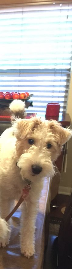 Should you be on the table ? Wirehaired Fox Terrier, Fox Terriers, Wire Fox Terrier, Wire Haired Terrier, Jack Russells, Third Baby, Heartstrings, Duffy, New Puppy