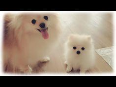 Cuteness overload featuring our teeny tiny pomeranian puppy Mickey. - YouTube