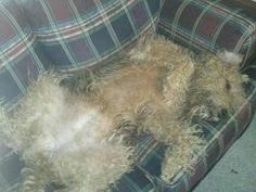 Airedale Sleep Position #317