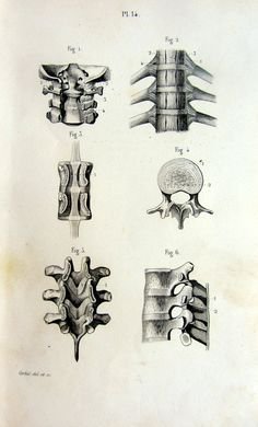 1846 vintage print of vertebrae antique by LyraNebulaPrints, $23.95