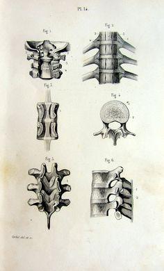 1846 vintage print of vertebrae  antique by LyraNebulaPrints, $23.95