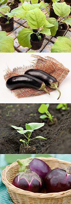 Баклажан: выращиваем рассадой.