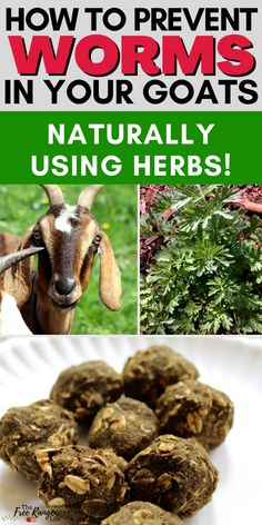 Are parasites or worms a problem in your goat herd? Learn how to prevent worms in your goats naturally using herbs! Anyone who wants to raise goats naturally should learn how to use herbs to help prevent parasites and worms. Mini Goats, Baby Goats, Goat Care, Nigerian Dwarf Goats, Raising Goats, Backyard Vegetable Gardens, Goat Farming, Garden Pests, Growing Herbs