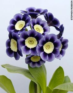 """Another beautiful primrose variety, Primula auricula """"Dilly Dilly"""""""