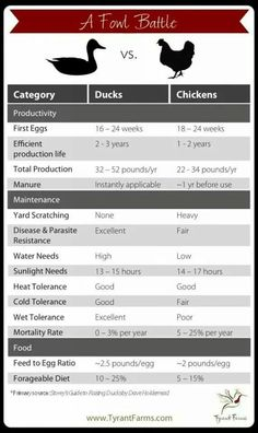 All You Need to Know About Duck Eggs — Nutrition, Benefits, Raising Ducks, and Hatching Duck Eggs is part of All About Duck Eggs Nutrition Benefits And Comparison - Is it true that duck eggs are much better than chicken eggs Well, here's the truth Backyard Ducks, Backyard Farming, Chickens Backyard, Backyard Poultry, Raising Ducks, Raising Chickens, How To Raise Ducks, Raising Goats, Canard Coop