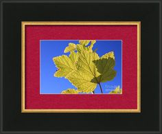Ribes Rubrum Framed Print featuring the photograph Red Currant Leaf Against Blue… Photograph, Framed Prints, Leaves, Sky, Blue, Painting, Photography, Heaven, Painting Art