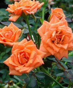 Mini Orange Parfait Rose