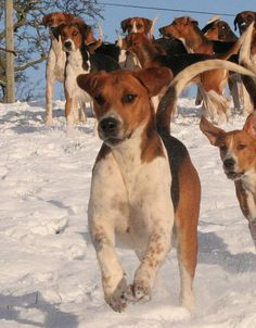 Hurworth Hounds - bouncy hound. November 2010. Hurworth Hunt - Old English Fox Hounds North Yorkshire, England.