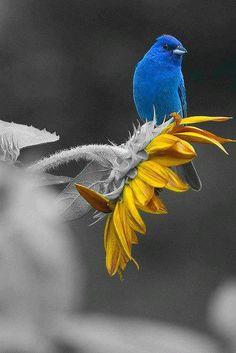 Blue-Bird on Sunflower