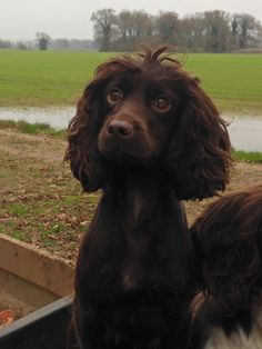 "Acquire excellent pointers on ""cocker spaniel"". They are on call for you on our site. Puppies And Kitties, Baby Puppies, Cute Puppies, Cute Dogs, Doggies, Spaniel Breeds, Spaniel Dog, Dog Breeds, Boykin Spaniel Puppies"