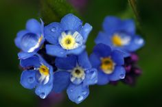 Forget-me-not photography instant download, wall home decore, nature photography, spring photogrphy, blue flower, blue photography, fine art by ESTtoYouPhotography on Etsy