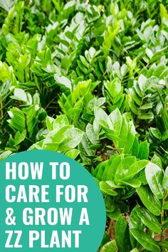 ZZ Plants are easy to care for houseplants which makes them a perfect beginner houseplant that are hard to kill. Find info on ZZ Plant care, ZZ Plant watering, ZZ Plant propagation, ZZ Plant soil as well as lots more ZZ Plant houseplant care tips. #houseplantsforbeginners