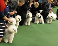 Line o' Bichon Frises for Vickie