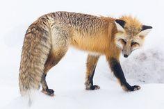 Red Fox, Wildlife, Snow, Winter