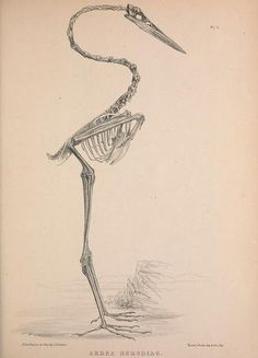 Osteologia avium, or, A sketch of the osteology...