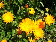Calendula blooms in Greece from February till October