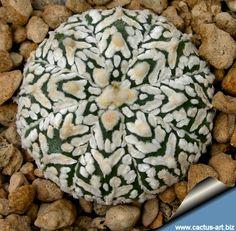 Astrophytum asterias cv Super kabuto V type by cactus-art #Cactus