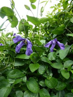 clematis-clare-coulson here are more than  40 cultivars of clematis here, including this Vitacella pictured, and they grow through hedges, up walls, through roses and trees as well as, in the case of Clematis Rooguchi, close to the ground around other low-growing perennials.