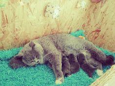 Catlove X 2018 and back #catsandcolours #cutenessoverload #photooftheday #roomie #kitties #klavertje4 #bestmommy #animo #instagramcats #cats #petstagram #animals #meow #britishshorthair #cats_of_world #catsofinstagram #adorable #catsagram #petsagram #instacat #sleeping #kittens #soft #catstagram #pets #furry #kitty #lovekittens #catoftheday #lovecats #instagood