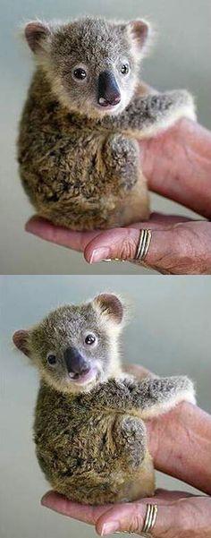 Baby Koala - A curious arboreal marsupial.