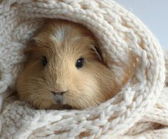 Ohh..I fell in love <3 #cute #guinea #piggy #so #lovely #pet #sweater