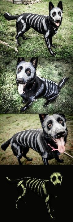 This Skele-pooch is Going to be Glowing Come Halloween! Skele-pooch is going to be glowing come Halloween! ~ black dog with pet-safe white color sketched on for bones Costume Halloween, Halloween Meme, Fall Halloween, Halloween Makeup, Happy Halloween, Halloween Party, Halloween Decorations, Vintage Halloween, Dog Skeleton Costume