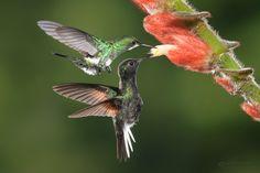 Green thorntail & black-bellied hummingbird pollinating Columnea flower Greg Basco