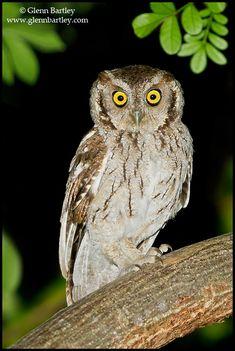 Peruvian Screech Owl (Megascops roboratus)