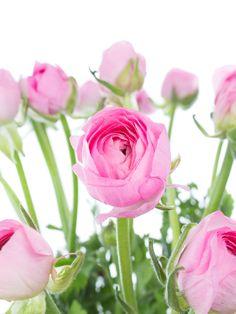 Rosa Ranunkeln der Sorte 'Pink' und andere Frühjahrsblumen jetzt entdecken auf Blumigo.de! Rosa Blumen für die Hochzeit mit Saison im Januar, Februar, März, April und Mai. pastell #schnittblumen #blumen #hochzeitsblumen #hochzeitsdeko #hochzeit #weddingflowers #ranunkulus #frühlingsblumen