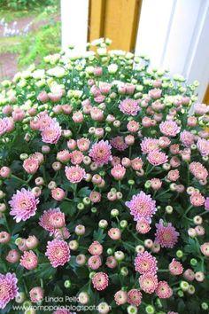 Pink Chrysantenium