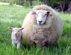 lots of wool Awww! shawn the sheep