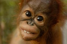 Cute orangutan baby <3  {:(|}
