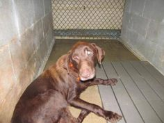 KARL ~ SENIOR ~ Chocolate Labrador Retriever ~ what a sweetheart with his orange collar..  TIME IS CRITICAL: 1 week ~ 9/17/15~9/24/15 MUST have commitment by 9/23/15 Wednesday 9pm PLEASE NEED PLEDGES, RESCUE, FOSTER, ADOPTION  ~Contact Laura at foranimals2002@aol.com for information about animals, rescue applications and adoptions. https://www.facebook.com/136070823390855/photos/a.192441431087127.1073741848.136070823390855/192441441087126/?type=3&theater