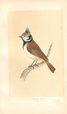 Antique Print of Crested Tit British Birds 1st Ed Morris 1851